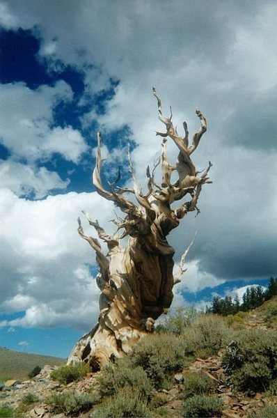 Bristlecone Pine in the White Mountains, Sierra Eastside