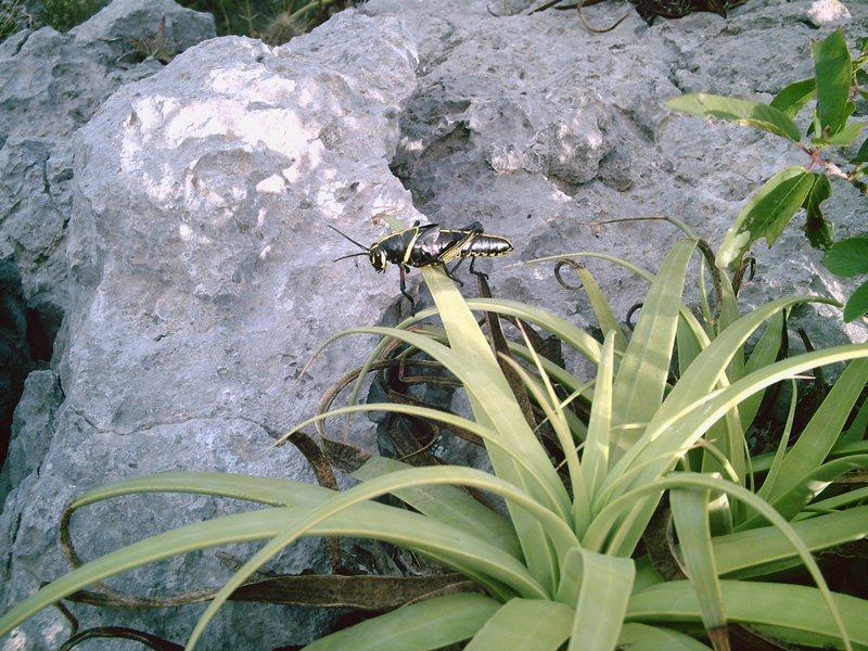 Rock Climbing Photo: A cool Locust? Found near the summit of TWZ.