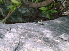 Rock Climbing Photo: A crazy colored lizard, found on the summit of TWZ...