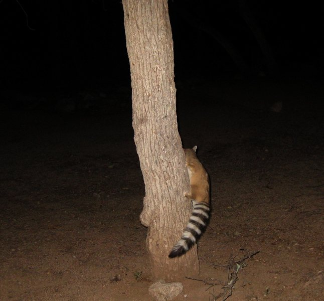 A friendly ringtail that hung out with us for most of the night at our campsite in the Stronghold. We had the campground all to ourselves that night; and it was a windless, and warm night for December! : )<br> <br> 12/11/09