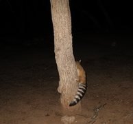 Rock Climbing Photo: A friendly ringtail that hung out with us for most...