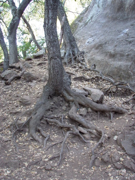 Erosion around oak tree roots at base of 60 Seconds
