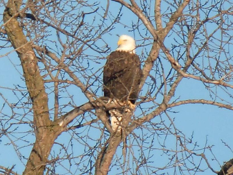 Bald Eagle over the Baraboo River