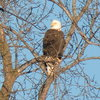 Bald Eagle over the Baraboo River