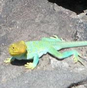 Rock Climbing Photo: Ole Lizard
