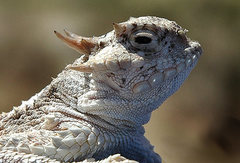 Rock Climbing Photo: Horned Lizard profile. Photo by Blitzo.
