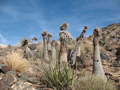 Rock Climbing Photo: Yuccas near the top of Saddle Rocks, Joshua Tree N...