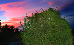 Rock Climbing Photo: Parasite infested yucca at sunset. Photo by Blitzo...