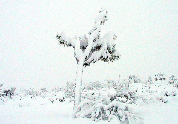 A snowy day in Joshua Tree.<br> Photo by Blitzo.