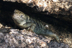 Rock Climbing Photo: Spiny Lizard. This one lost it's tail, but a new o...
