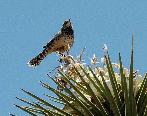 Cactus Wren.<br> Photo by Blitzo.
