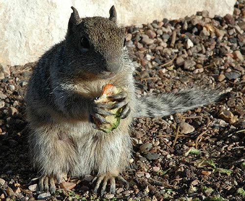 Ground Squirrel.<br> Photo by Blitzo.