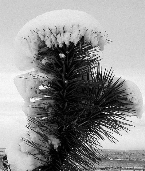 Snow capped yucca.<br> Photo by Blitzo.