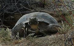 Rock Climbing Photo: Desert Tortoise. Photo by Blitzo.