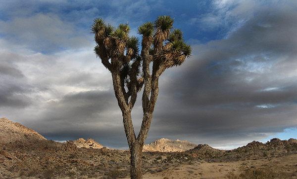 Joshua Tree.<br> Photo by Blitzo.