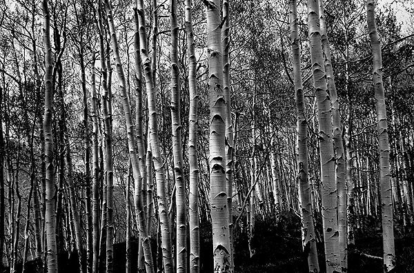 Aspen forest near Telluride.<br> Photo by Blitzo.