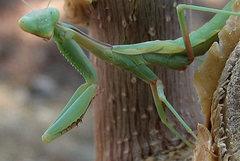 Rock Climbing Photo: Praying Mantis. Photo by Blitzo.
