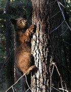 Rock Climbing Photo: Young black bear. Photo by Blitzo.
