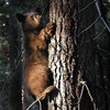 Young black bear.<br> Photo by Blitzo.