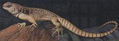 Rock Climbing Photo: Desert Iguana detail. Photo by Blitzo.