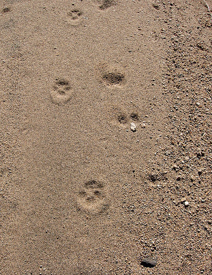 Coyote tracks in a wash.<br> Photo by Blitzo.