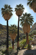 Rock Climbing Photo: California Fan Palms. Photo by Blitzo.