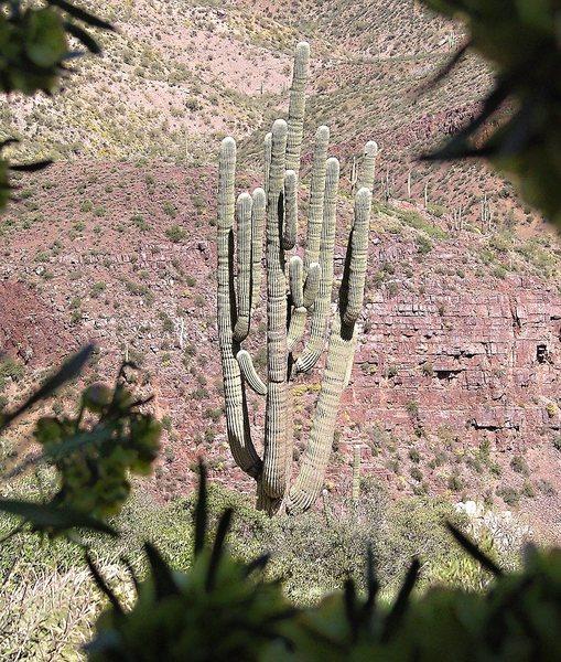 Rock Climbing Photo: Mother Saguaro