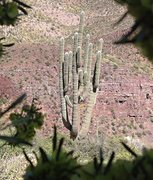 Rock Climbing Photo: Mother Saguaro