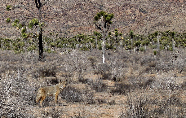 Coyotes are hard to see.<br> Photo by Blitzo.
