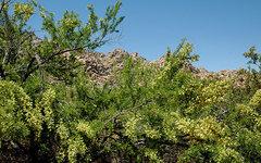 Rock Climbing Photo: Catclaw acacia. Photo by Blitzo.