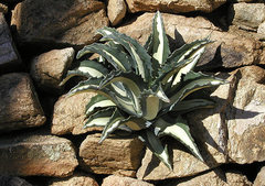 Rock Climbing Photo: Agave. Photo by Blitzo.