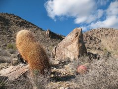 Rock Climbing Photo: On the way to the Larry Flynt Boulders, Joshua Tre...