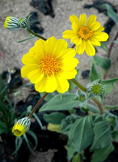 Desert Sunflower. <br> Photo by Blitzo.