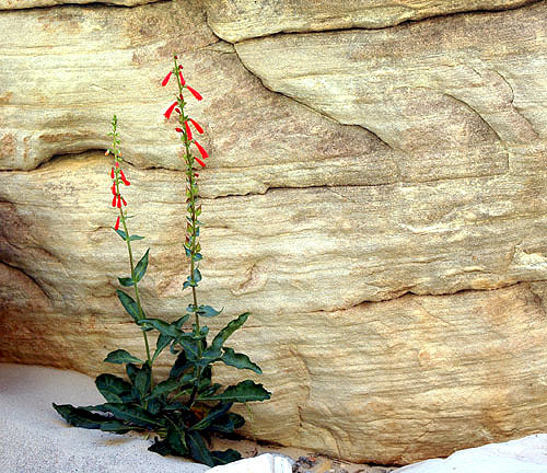 Utah Penstemon.<br> Photo by Blitzo.