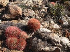 Rock Climbing Photo: Lots of Barrel Cactus. Photo by Blitzo.