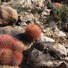 Lots of Barrel Cactus.<br> Photo by Blitzo.
