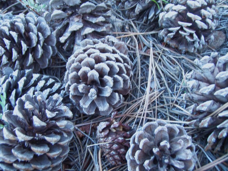 Rock Climbing Photo: Ground cover of Pine Cones and Needles, Eagle Moun...