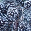 Ground cover of Pine Cones and Needles, Eagle Mountain