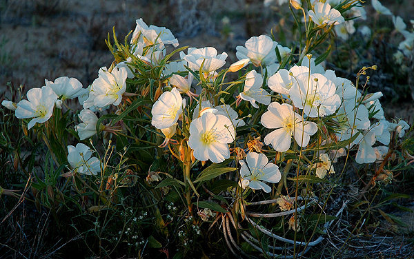 Birdcage Evening Primrose.<br> Photo by Blitzo.
