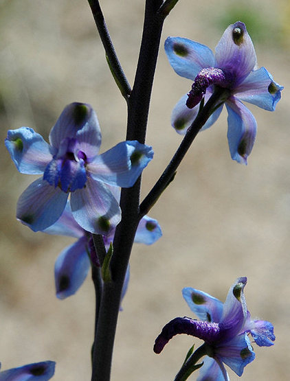Desert Larkspur.<br> Photo by Blitzo.