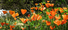 Rock Climbing Photo: California Poppies. Photo by Blitzo.