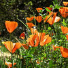 California Poppies.<br> Photo by Blitzo.