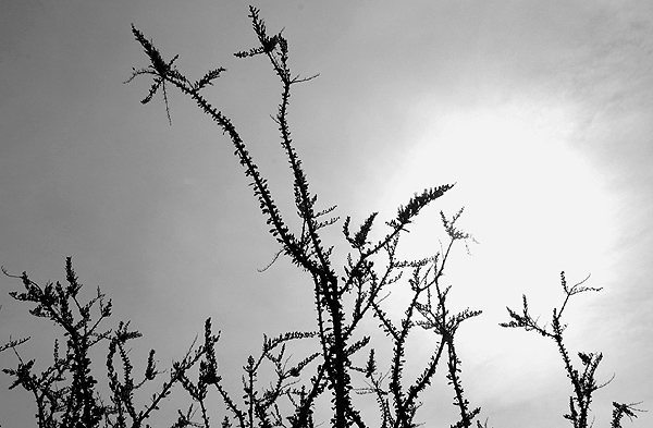 Ocotillo.<br> Photo by Blitzo.