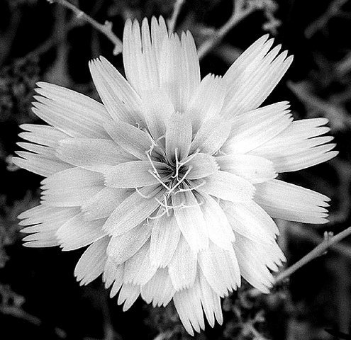 Desert Chicory.<br> Photo by Blitzo.