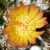Some kind of mammillaria.<br> Photo by Blitzo.