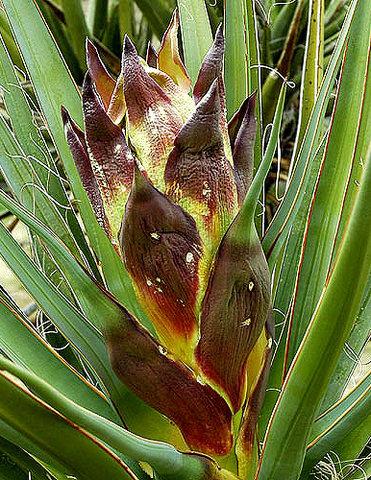 Yucca bud.<br> Photo by Blitzo.