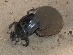 Rock Climbing Photo: Dung Beetle