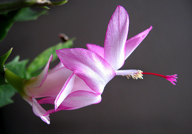 X-mas cactus flower profile.<br> Photo by Blitzo.