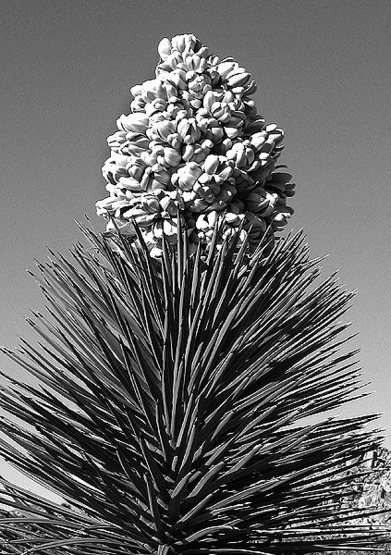 Joshua Tree Flower.<br> Photo by Blitzo.