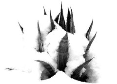 Rock Climbing Photo: Agave in snow. Photo by Blitzo.